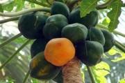Папайя: питательная ценность культуры, выращивание