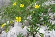 Лапчатка прямостоячая цветки