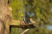 Нет диких птиц – идет нашествие аленки мохнатой