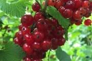 Сердечная ягода: красная смородина на приусадебных участках