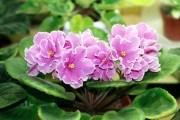 Сенполия цветки