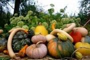 Выращивания тыквенных культур
