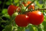 Захист томатів на присадибних ділянках