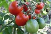 Сеем по-новому! Безрассадное выращивание томатов