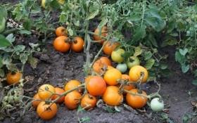 Бесподобный оранжевый томат! Выращиваем желтые сорта томата