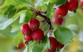 Декоративные яблони: райские красавицы в дизайне сада