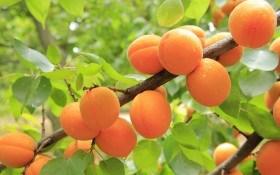 Живой сад: как защитить абрикос от болезней