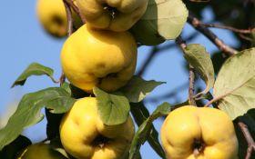 Чистое золото айвы: посадка, выращивание, уход