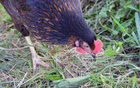 Куриный помет: способы безопасного применения