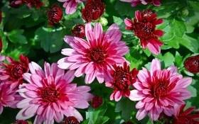 «Отцвели уж давно…» или как выращивать хризантемы в закрытом грунте