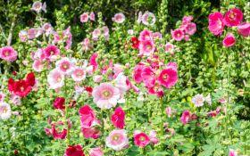 Календула и мальва — цветы из вашего детства