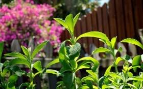Стевия — трава медовая: происхождение и технология выращивания