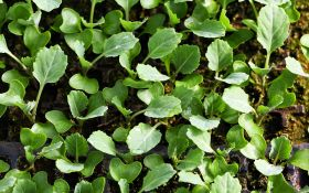 Секреты выращивания рассады ранней капусты