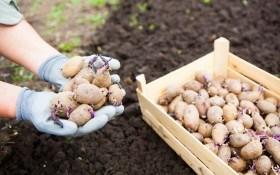 Ризоктониоз картофеля: возбудитель, методы борьбы и профилактики