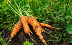 Технология выращивания моркови: правильный уход — залог успеха