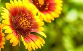 Прекрасная гайлардия: особенности размножения, выращивание, сорта и виды