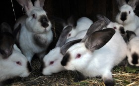 Выбираем породу кроликов: советы опытного кроликовода