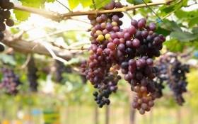 Приправа для лозы: как применять стимуляторы роста в винограднике?