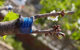 Зачем и как прививать плодовые деревья?