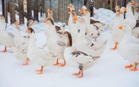 Пора строить гнезда: уход за гусями в январе
