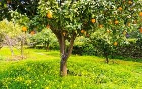 Солнечный апельсин: как вырастить в домашних условиях