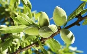 Миндаль: секреты посадки, выращивания и ухода