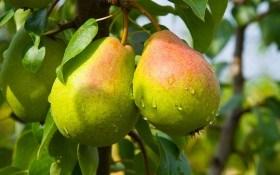 Как предотвратить гниль мякоти плодов груши?