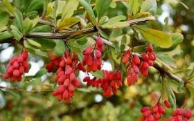 Колючий куст и ягода кислица: выращивание, размножение и полезные свойства барбариса
