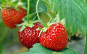 Можно ли защитить ягодник от летней жары?