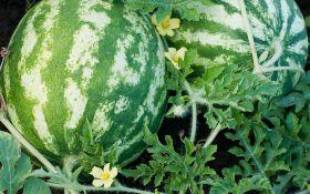 Что нужно для выращивания арбузов? Тепло, свет и забота!