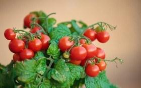 ТОП-10 рекомендаций по выращиванию комнатных томатов у себя дома
