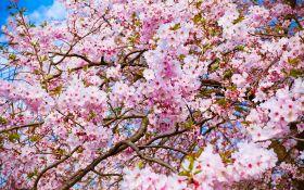 Таинственная сакура — дерево необычайной красоты