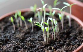 Выращиваем томаты: 3 шага от семян к рассаде
