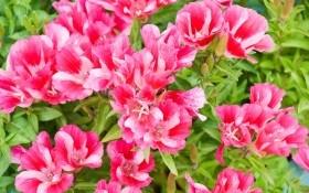 Прекрасная годеция: агротехника, размножение, сорта и виды