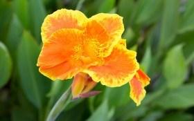 Величественная осанка канны: выращивание, размножение, необходимый уход