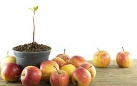 Яблонька на балконе: посадка, выращивание, необходимый уход