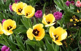 Тюльпаны: нехитрые секреты агротехники