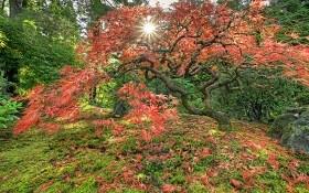 Японский клен: посадка, выращивание, основной уход