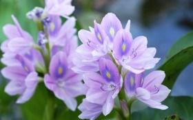 Эйхорния: «зеленая чума» или прекрасное водное растение?