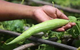 Трихозант, или змеевидный огурец: как вырастить и для чего