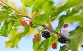Ход черной королевы: размножение и выращивание шелковицы