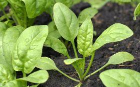 Выращивание шпината: все от посадки до уборки