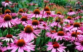 Как использовать эхинацею в дизайне сада?