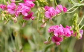 Выращиваем душистый горошек: агротехника, сорта, декоративное использование
