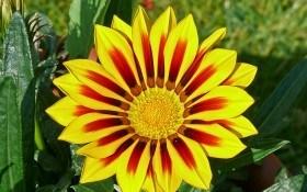 Гацания — выращивание цветка полуденного золота