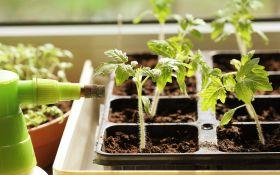 Рассада томатов: трудности подросткового периода