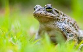 Получайте пользу от них! Почему не надо уничтожать жаб на даче?