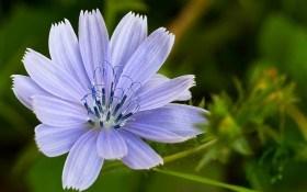 Голубоглазый наш целитель: выращивание цикория
