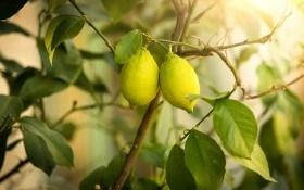 Мальсекко лимона: распознаем и боремся