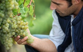 Виноградные хлопоты: 7 важных аргомероприятий по уходу за виноградом